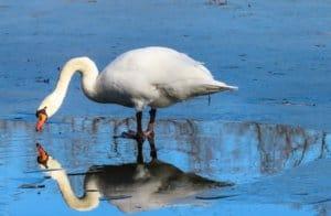 animals, bird, swan