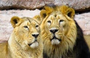 lion, cohesion, partner